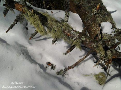 copac si licheni