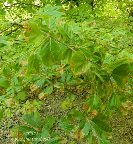 frunze atac