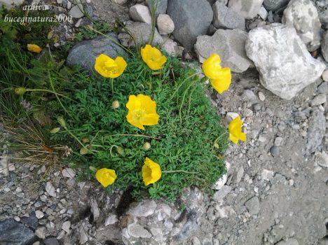 macul galben